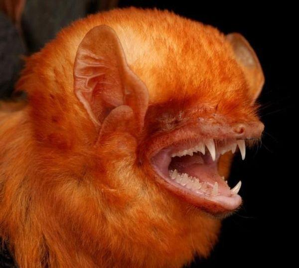 Смотрите, люди, я бэт! Всё как у зверей, летучие мышы, бэтмен, Морды, рукокрылые, Тимонова, вампиры, листонос, видео, длиннопост