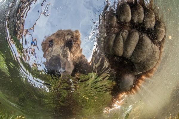Медведи все ближе! Камчатка, медведь, Съемки, Михаил Коростелёв, не мое, длиннопост