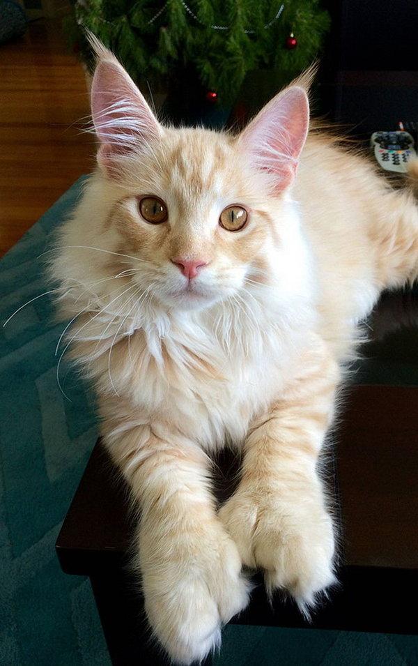 Мейн-кун: огромные кошки с удивительной грацией кот, мейн-кун, Животные, питомец, Подборка, милота, котомафия, длиннопост