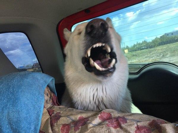 Белая швейцарская овчарка Пит, или просто хороший мальчик. Белая Швейцарская овчарка, хороший мальчик, Собака, красивые и удивительные животн, питомец, длиннопост
