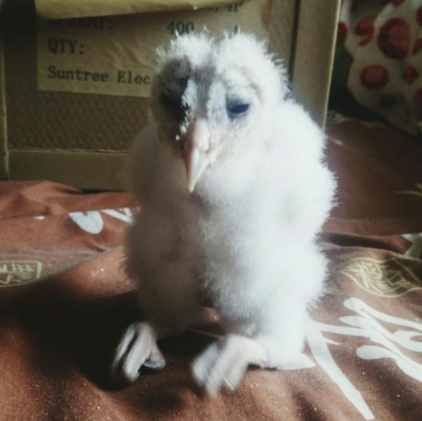 Эволюция одной маленькой совы сова, птицы, Интересное, Сипуха, Животные, длиннопост, фотография, моё