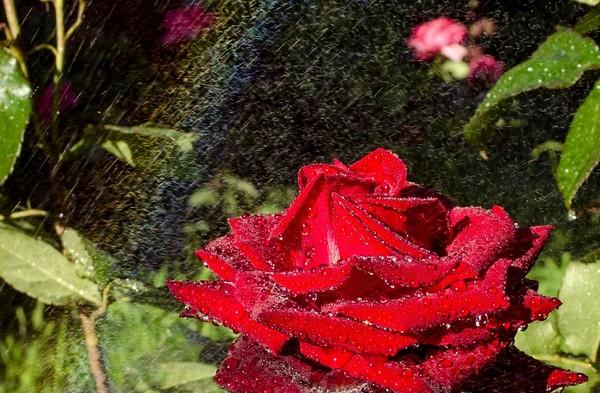 Цветы, радуга и никакого макро. Цветы, Капли, Роза, Мох, Длиннопост
