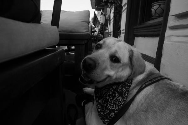 Каникулы лабрадора) Собака, море, лабрадор, каникулы, отпуск, лето, фотография, длиннопост