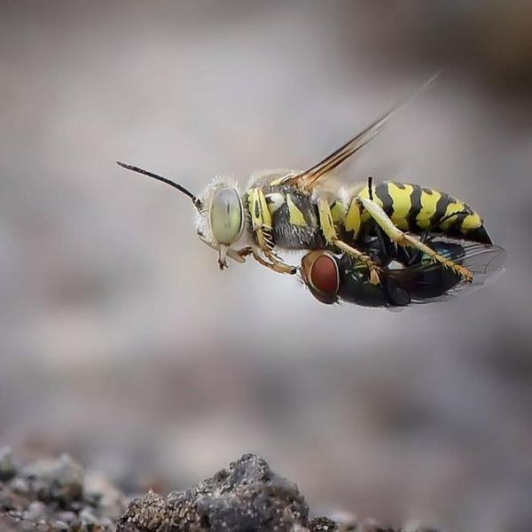 """""""Зеленоглазое такси"""" оса, муха, насекомые"""