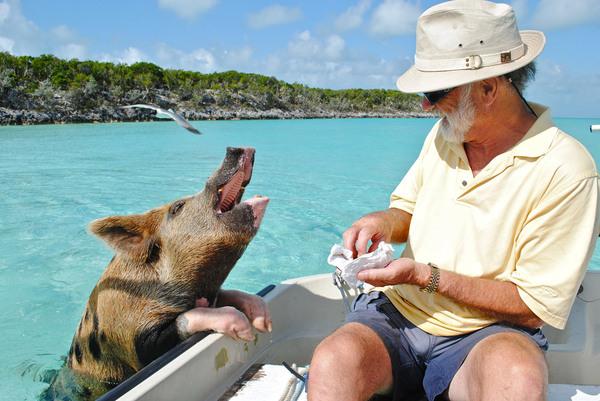 Остров свиней на Багамах Багамы, багамские острова, пляж, свинья, хрюша, длиннопост