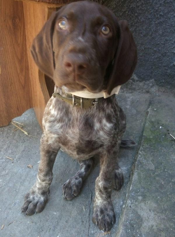 Пропала собака породы курцхаар Одесская область Пропала собака, Собака, курцхаар, Одесская область, одесса