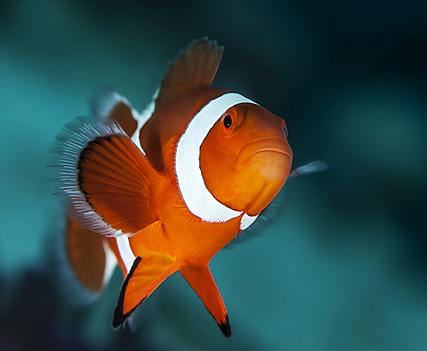 Грустный клоун фотография, Рыба, подводный мир