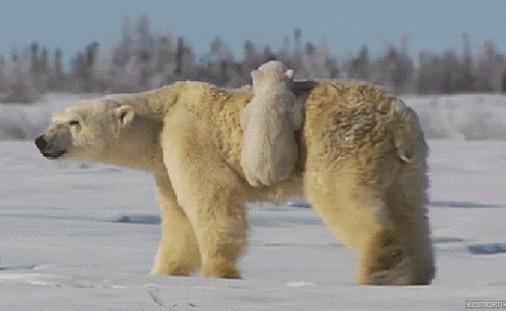 Медвежье такси.