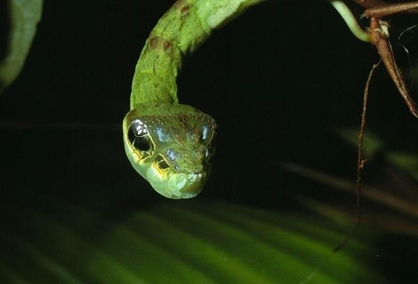 Ой, какая милая змейка змея, гусеница, бабочка, мимикрия, Насекомые, зоология, биология, Интересное, длиннопост