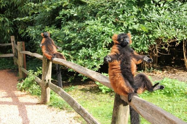 Когда солнечной погоды осталось на три дня. зоопарк, 2 обезьяны, Голландия, солнце, почти моё (подруга фотала)