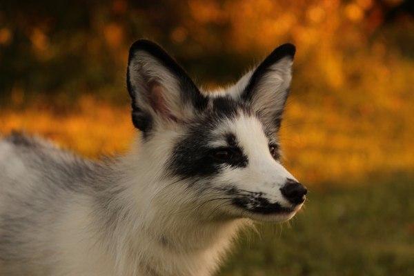 Мраморная лисица Лиса, Фыр, Мрамор