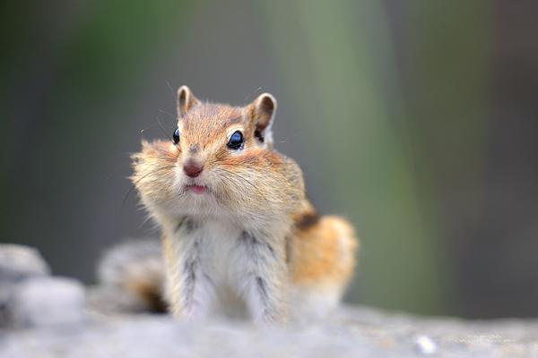 Бурундук - толстые щёки =) бурундук, щеки, не мое, длиннопост