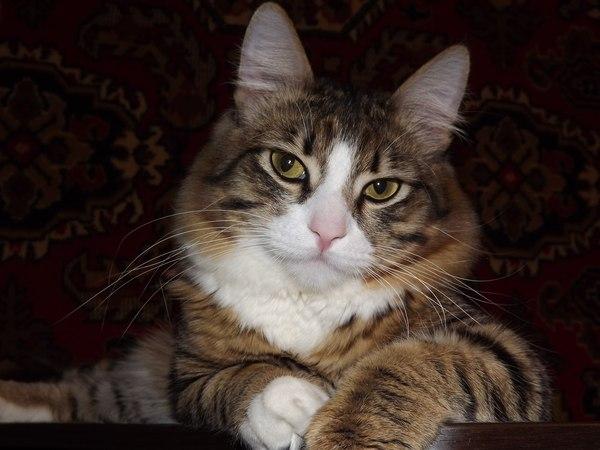 Милаха милота, кот