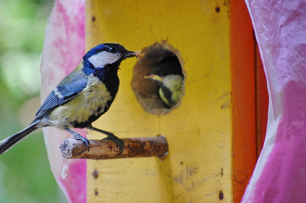 Житьё птиц-синиц. птицы, синица, потомство, хлебало, скворечник, длиннопост