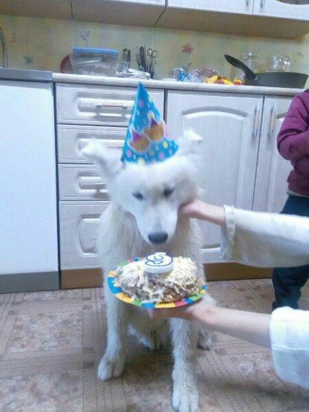 Сегодня ему 6 месяцев Собака, самоед, перевозка, Авито