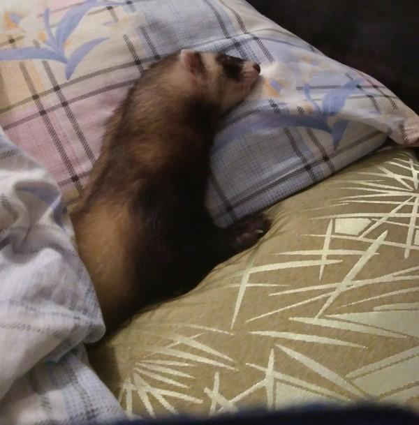 Спят усталые хорятки. (Моя кровать, а ты, хозяйка, поспи на коврике) Хорек, сон, милота, собственник