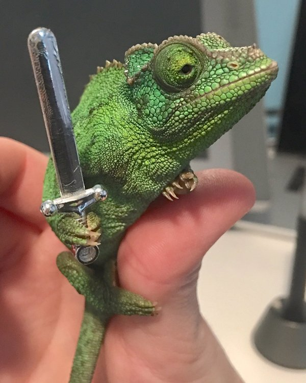 Хамелеон будет держать в руке всё что вы ему дадите фотография, хамелеон, милота, длиннопост