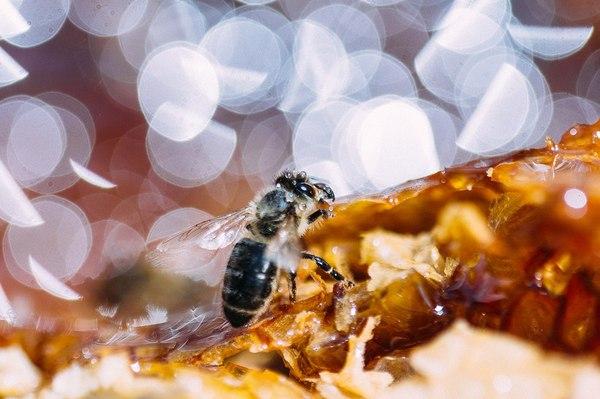 Жизнь пчел мёд, пчелы, макро, длиннопост