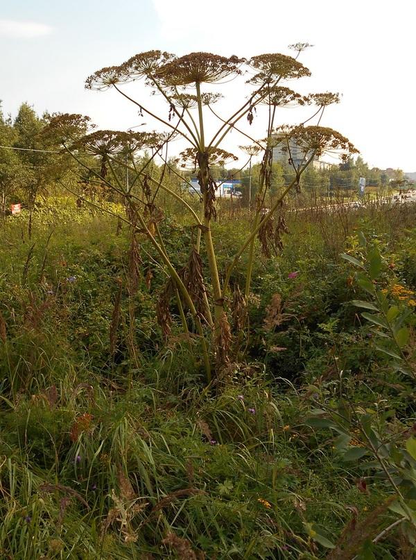 Руководство для землян по подсчету отцветшего зерговского борщевика с иллюстрациями сорняк, борщевик, земляне против борщевика, растения, инструкция, Природа, фотография, длиннопост