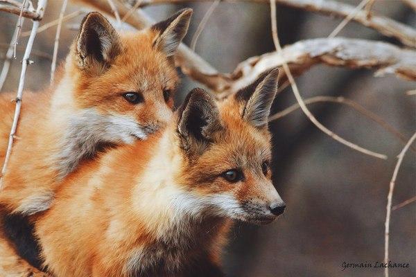 Маленькие рыжики ^.^ лиса, фыр, милота, Животные