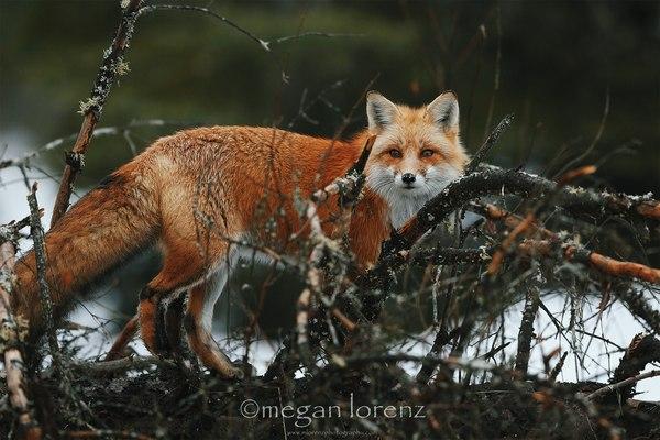 Рыжая милота ^.^ лиса, фыр, лес, милота, Животные