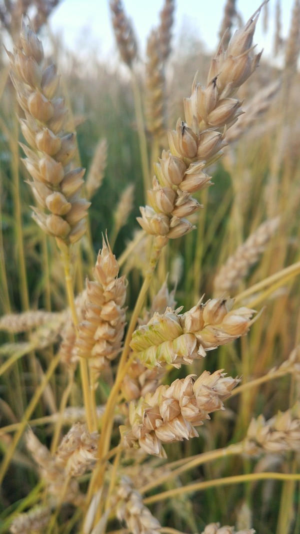 Макро макросъемка, пшеница, фотография, Xiaomi, длиннопост