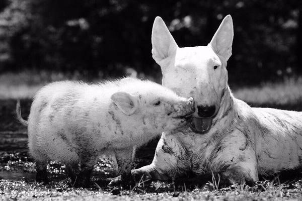 Буль свинье не товарищ!