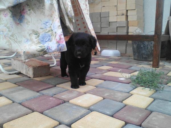 ОТДАДИМ ЩЕНКА отдам в хорошие руки, черного щенка, длиннопост, Севастополь, собака, в добрые руки, помощь животным