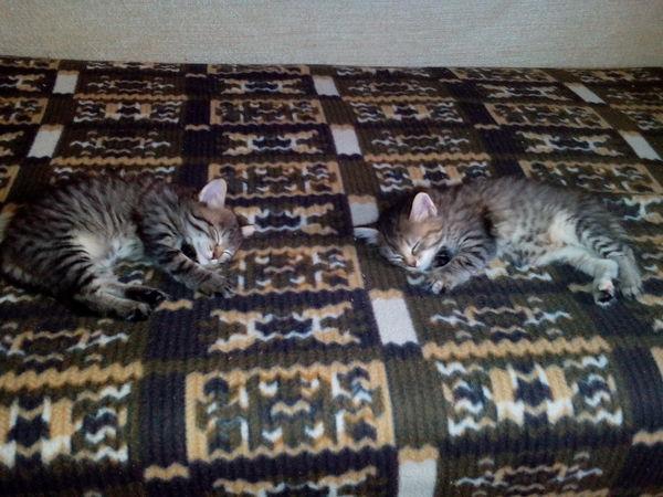 Отдам котят. Красноярск забавные котята, отдам в хорошие руки, Красноярск, котята и щенки, длиннопост
