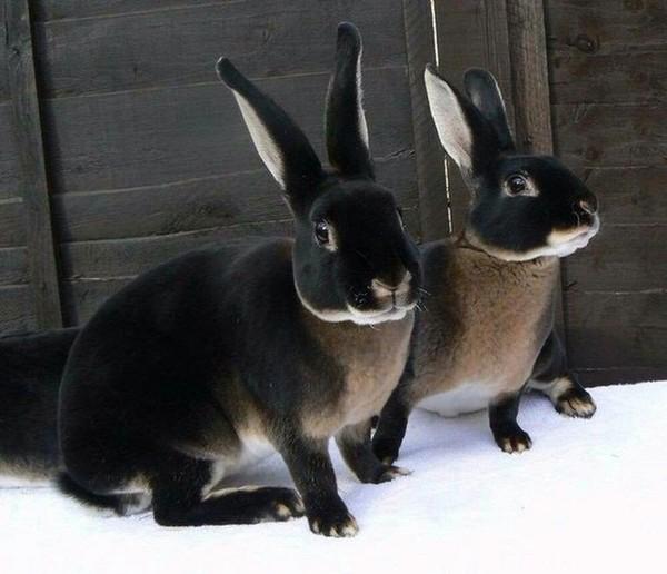 Черно-бурые зайцы