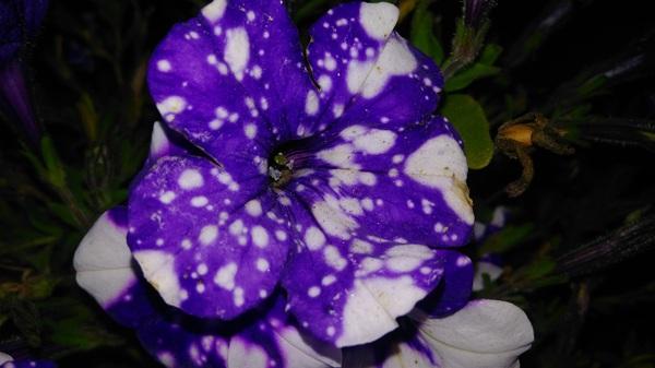 Цветок космос, где то видел на пикабу кто то выкладывал, выростил свой) Цветы, лето, солнце, дача