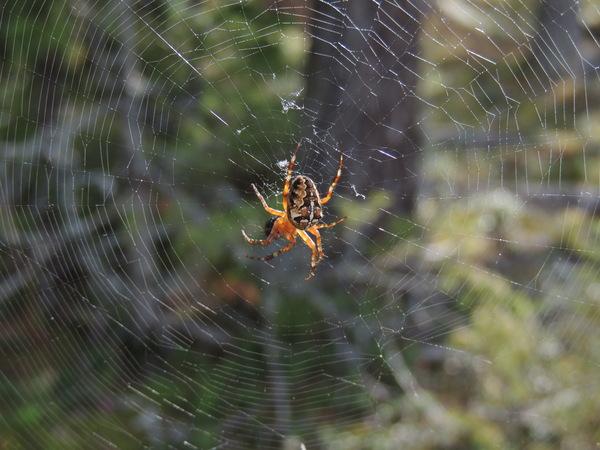 Немного живности и растительности с Карельского перешейка Природа, фотография, паук, лебедь-кликун, длиннопост