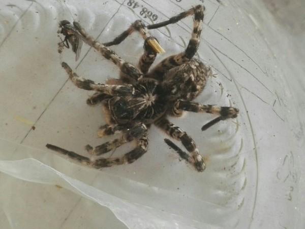 Нужен ответ от специалиста по паукам. паук, сэс