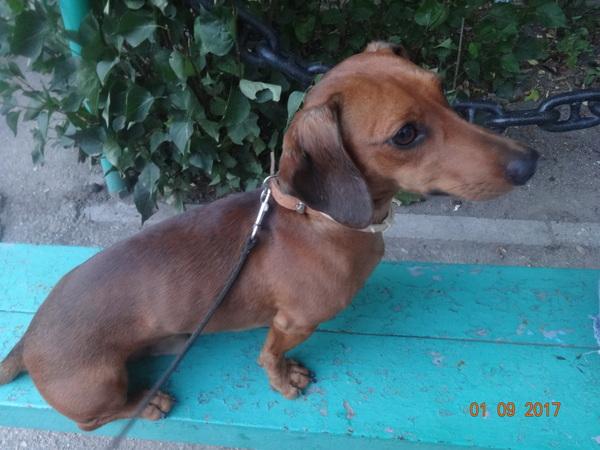 Отдам собаку(такса) г.Севастополь Собака, отдам в хорошие руки, Севастополь