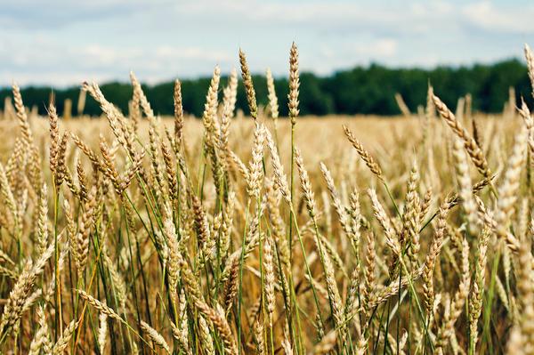 Рожь гречка пшеница ковыль фотография, canon, Природа, длиннопост