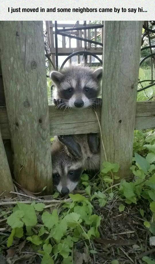 Новые соседи милота, енот, соседи, 9gag