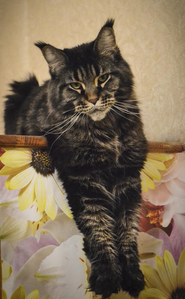 Кошка Мейн кун в добрые руки кот, мейн-кун, отдам в хорошие руки, помощь, подмосковье, длиннопост