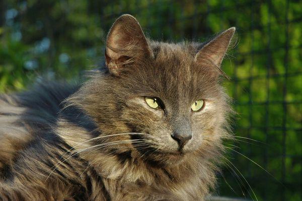 Подборка Норвежских лесных фотография, кот, Норвежская лесная, длиннопост