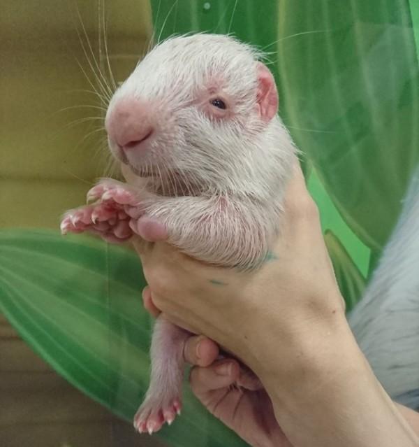 В научном зоопарке Екатеринбурга родился белый дикобраз дикобраз, Екатеринбург, зоопарк, Животные, длиннопост
