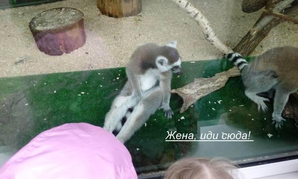 Однажды в зоопарке... лемур, зоопарк, жена, подозрительность