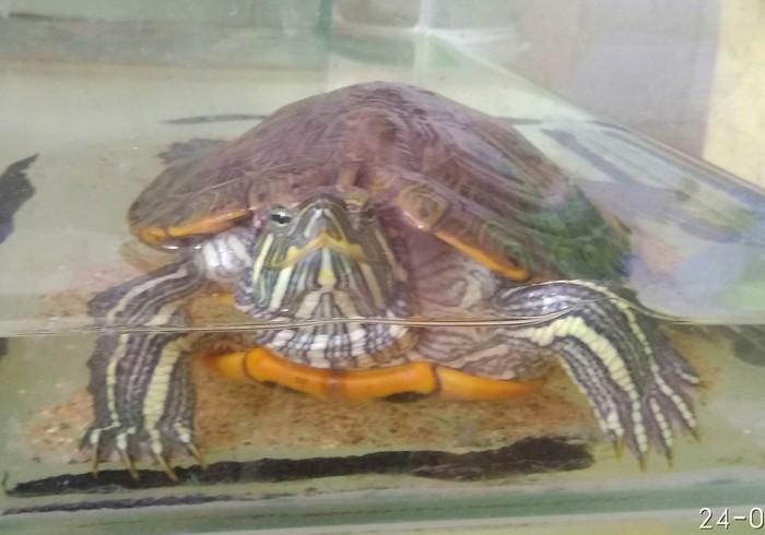 Отдам черепаху В добрые руки, Красноухая черепаха, Черепаха, Смешные объявления, Нижний Новгород
