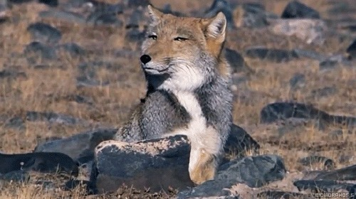 Тибетская лиса -- ее ничем не впечатлить Лиса, Фыр, Тибетская лисица, Равнодушие, Гифка, Длиннопост