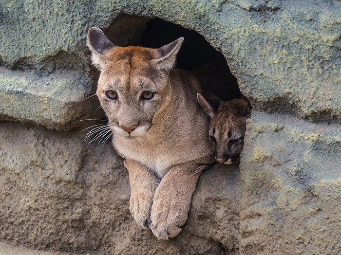 В зоопарке, где я работаю, родились и подросли пумята. пума, Роев ручей, Красноярск, Животные, длиннопост