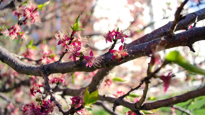 Сначала была весна, а потом было лето Цветы, Nikon d5100, Фотография, Весна, Абрикос