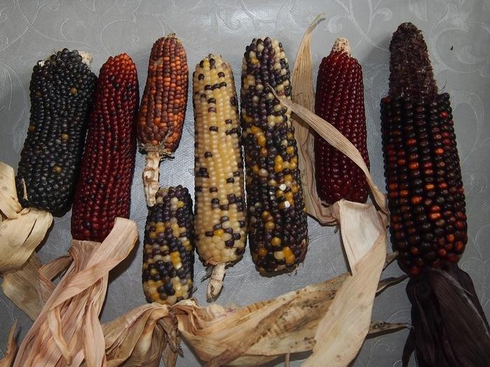 Непривычные формы привычных растений Пшеница, Полбабы, Динкель, Эммер, Горох, Растениеводство, Многообразие видов, Длиннопост