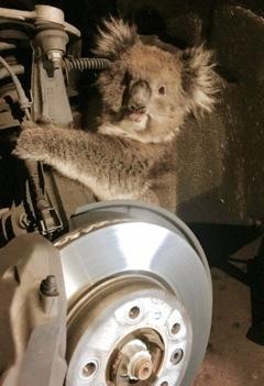 Коала проехала 16 километров на подвеске машины. И осталась жива. коала, с ветерком!, Австралия, Животные, автопутешествие
