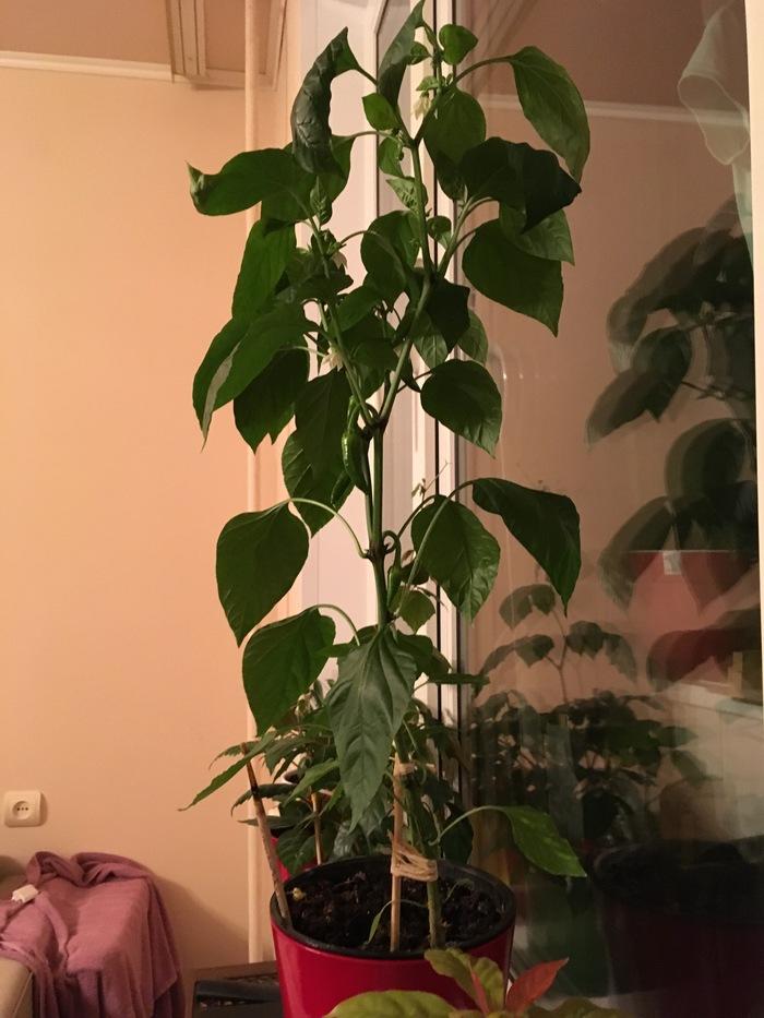 У меня перец 60 см Перец, Острый, Вырос, Зелень, Халапеньо, Комнатные растения