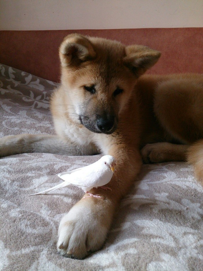 Мой пёс. Собака, Акита ину, Было-Стало, Фотография, Длиннопост