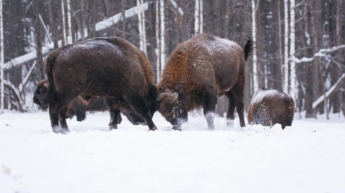 Право быть первым Зубр, Поединок, Дикая природа, Калужская область, Животные