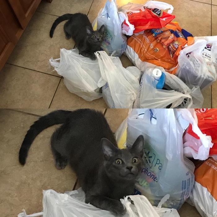 Моя кошка всегда проверяет, что я принёс вернувшись из магазина. Это момент, когда она почувствовал жаркое из говядины.
